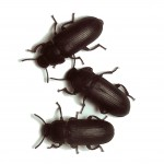 Tenebrio Beetles