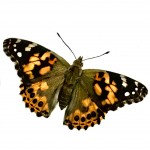 Large Painted Lady Butterfly Caterpillars set